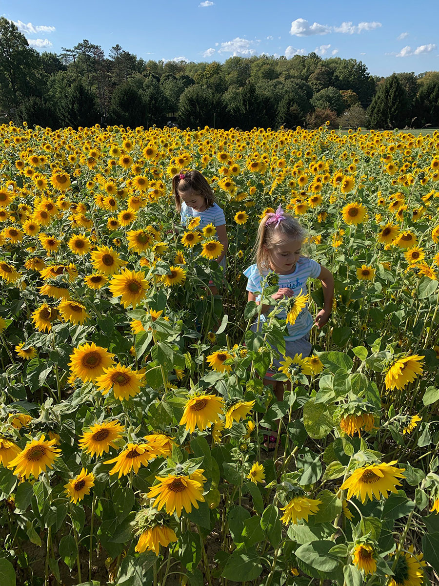 Vechione family daughters in a field of sunflowers